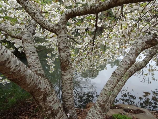 Cherry tree and Blackheath duck pond