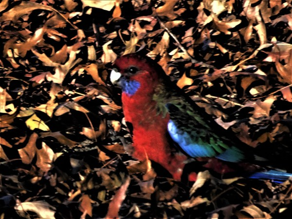 Crimson rosella in autumn