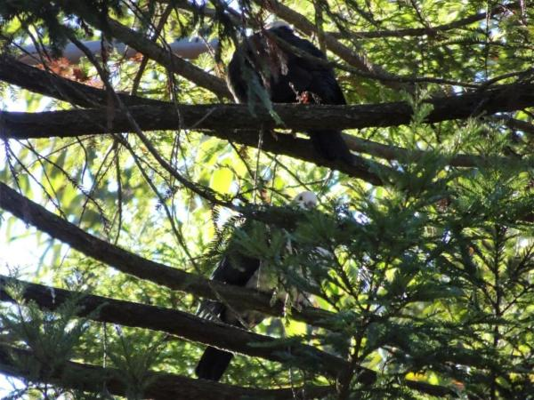White heded pigeons in Californian redwood.