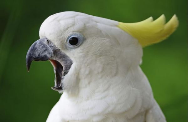 Sulphur crested cockatoo squawking.