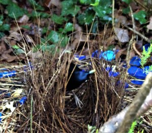 Satin bowerbird adding to bower