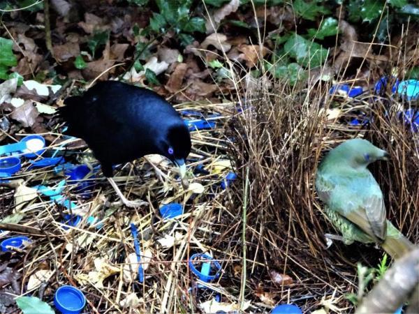 Pair of satin bowerbirds.