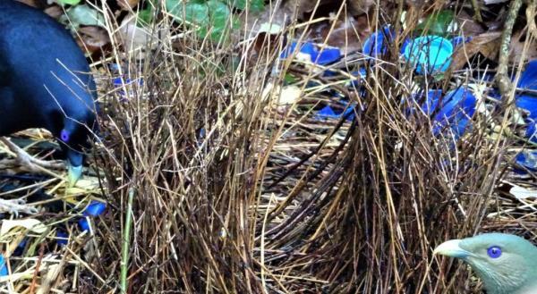 Courting satin bowerbirds