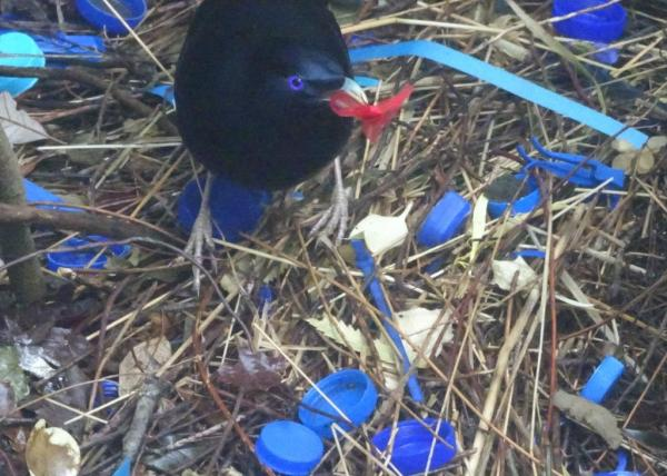 Satin bowerbird removing hated red object from his bower.
