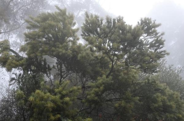 Wattle about to bloom in the mist.