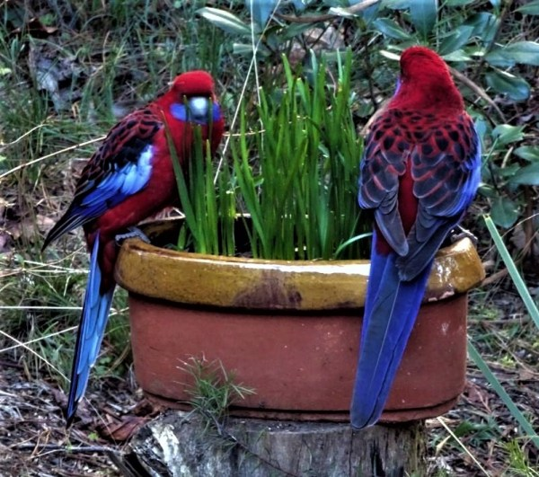 Crimson Rosellas once provided blue feathers for satin bowerbirds. And times are changing again.