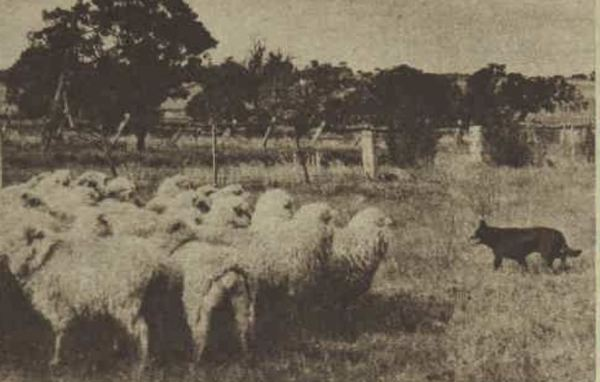 Kelpie working sheep.