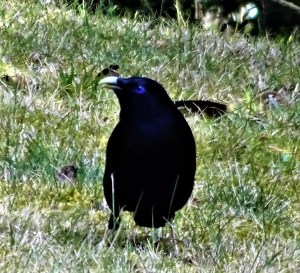 Satin owerbird