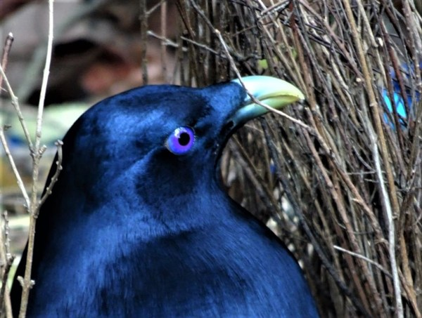 Male satin bowerbird in bower.