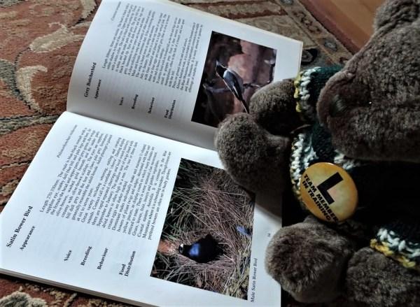Birdwatcher Editor Des studying Satin Bowerbirds.