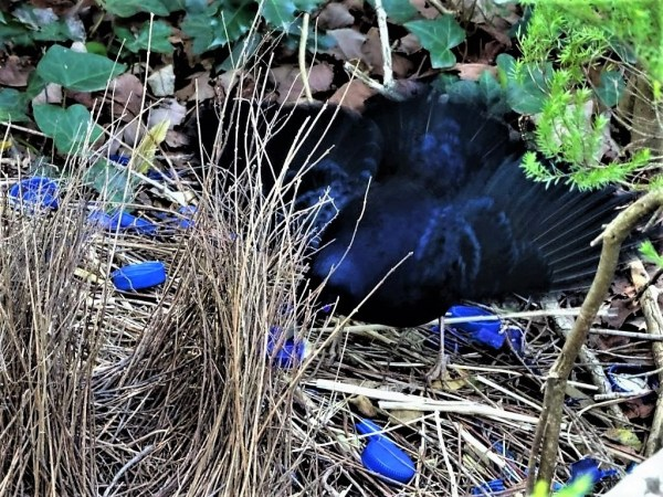 Satin bowerbird putting on a show.