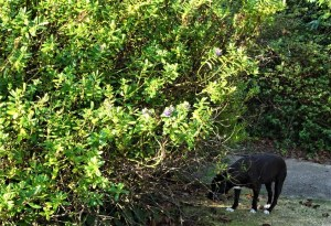 Dog approaching the satin bowerbird's boer