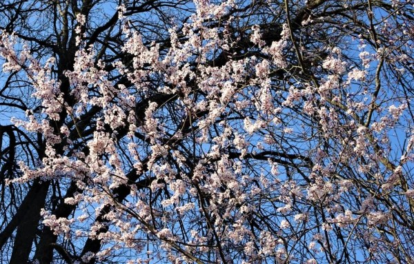 Blossom and blue sky.
