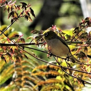 Silvereye in the maples