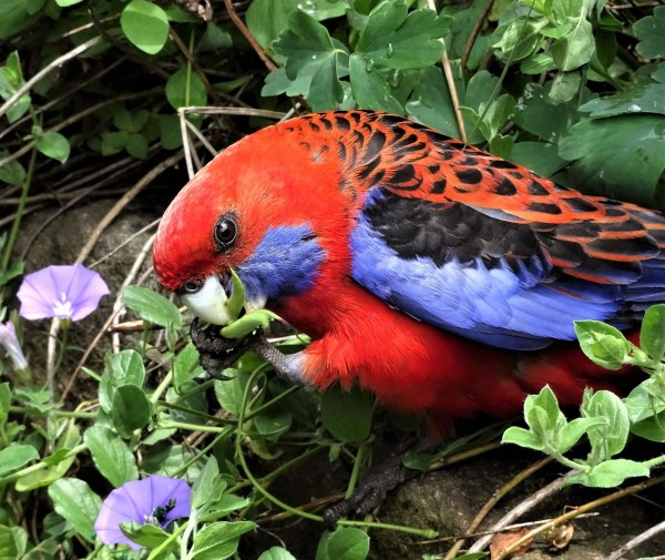 Crimson rosella eating aquilegia seeds.