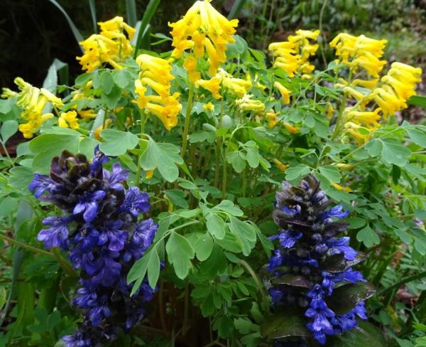 Ajuga and Corydalis