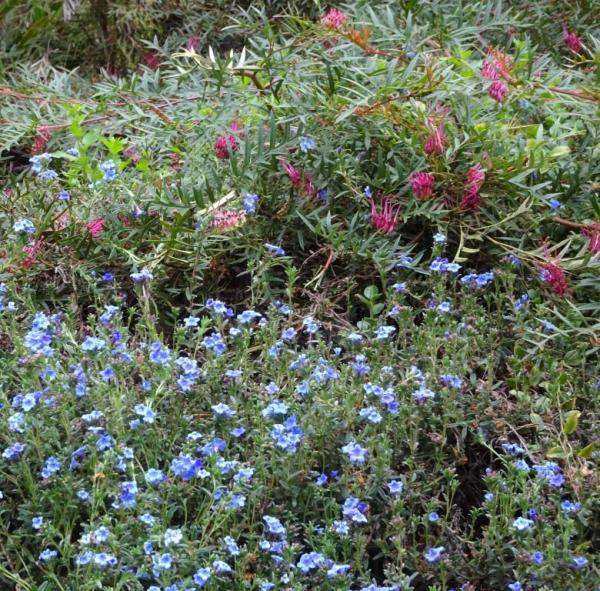 Lithodora and groundcover grevillea.
