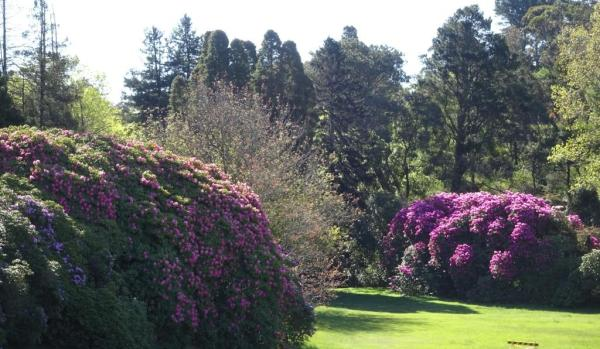 Rhododendrons in Memorial Park Blackheath