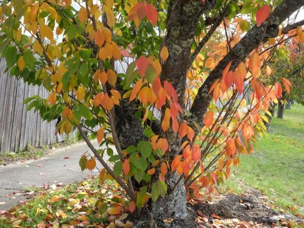 Cherry tree, Blackheath