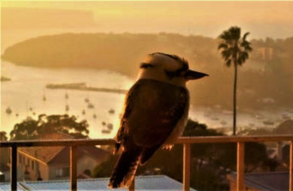 Kookaburra at dawn in Sydney