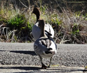 Wood ducks crossing street.