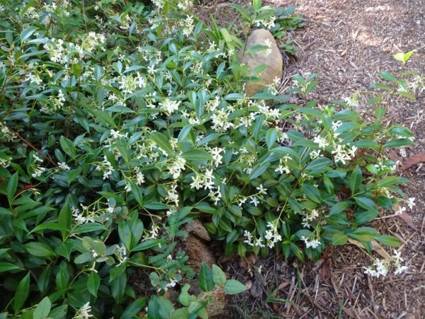 Star jasmine as a ground cover