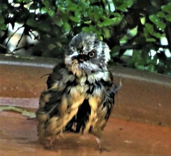 Thornbills can  look very fierce!