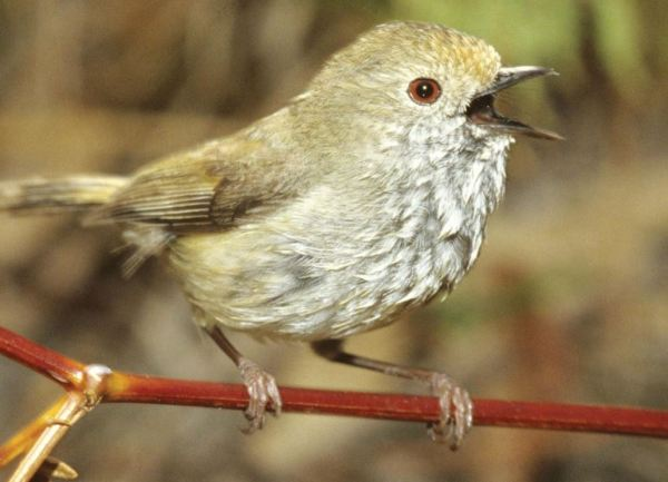 Thornbill in full voice.