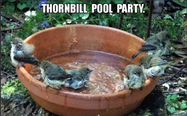 Thornbills bathing.