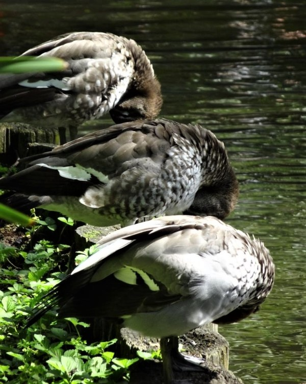Wood ducks at Blckheath duck pond.