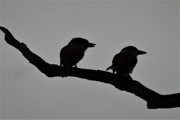 Kookaburra couple in gum tree