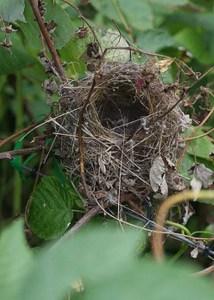 Blue Wren nest
