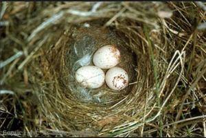 Blue wren nest and eggs