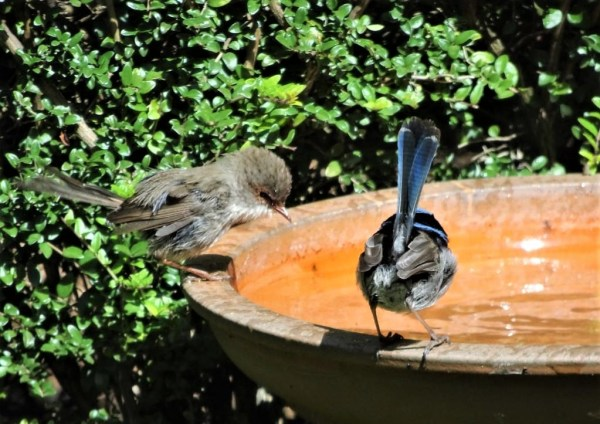 Blue Wrens bathing