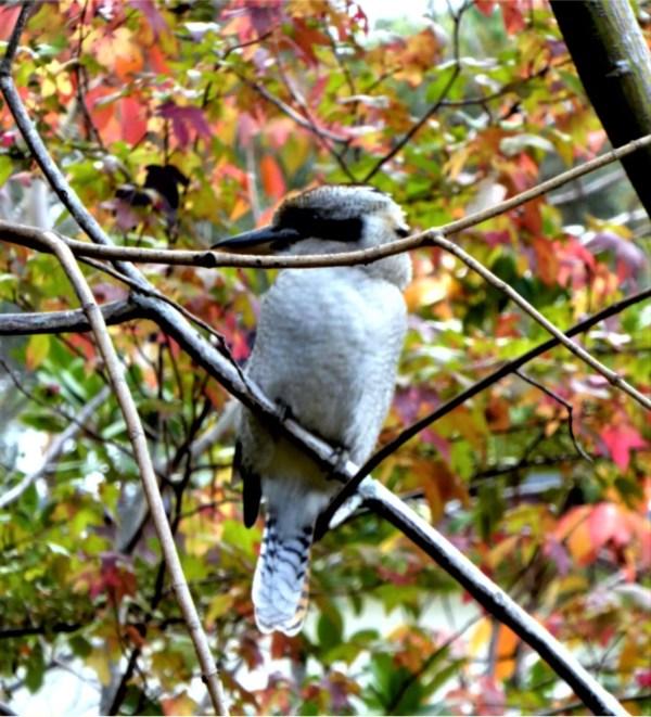 Kookaburra in the autumn