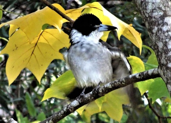 Grey Butcherbird inthe tlip tree.