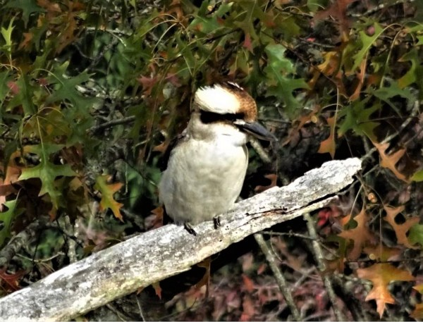 Kookaburra in the oak tree