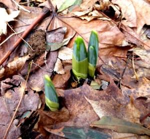Spring bulbs pushing through.