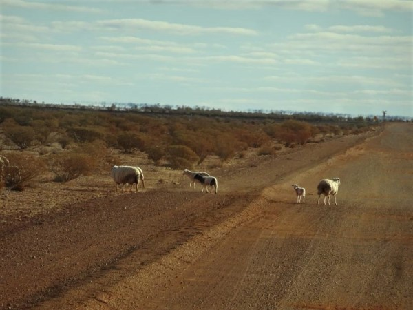 Sheep near the dingo proof fence outside Coober Pedy.