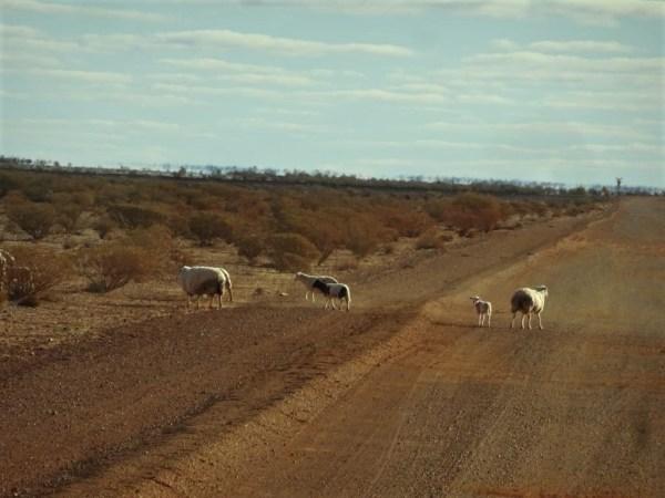 Sheep near the dingo proof fence outside Coober Pedy.