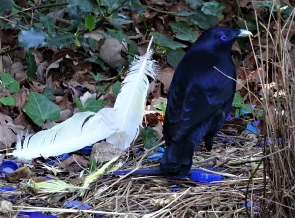 Adult satin bowerbird.
