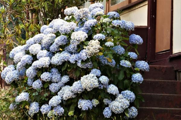 Hydrangeas coping well in heatwave conditions.