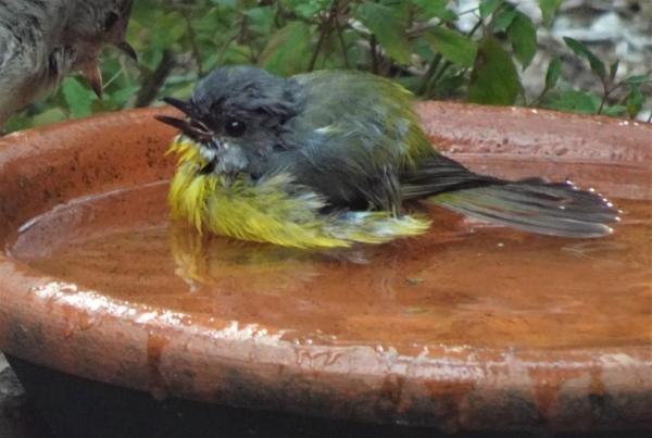 Oh the relief, robins love a bath on hot dys.