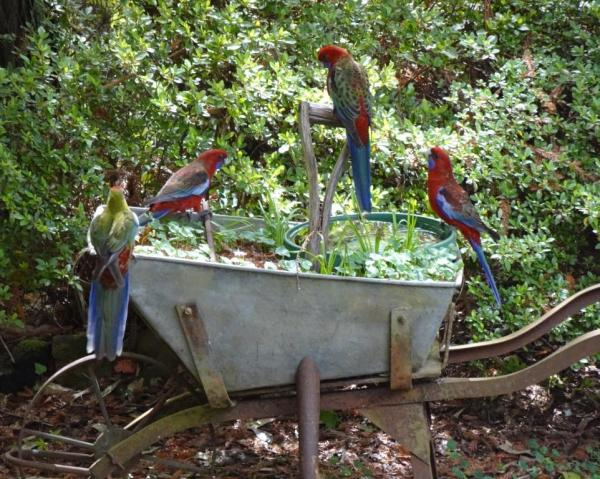 Crimson rosellas on te old wheelbarrow.