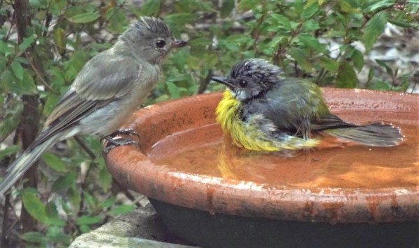 Eastern yellow robin and chick.