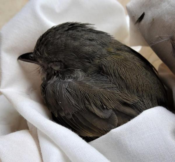 Thornbills sometimes crash into windows, poor little things.