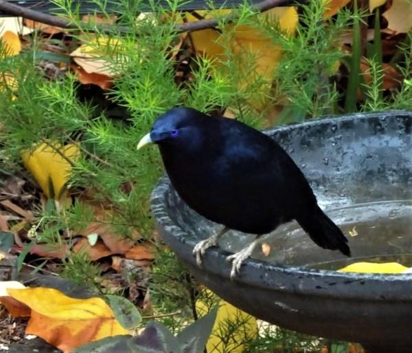Male satin bowerbird in autumn.