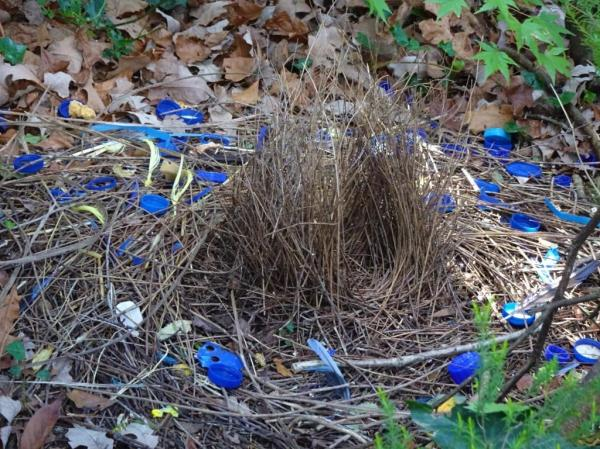 Bower of the satin bowerbird.
