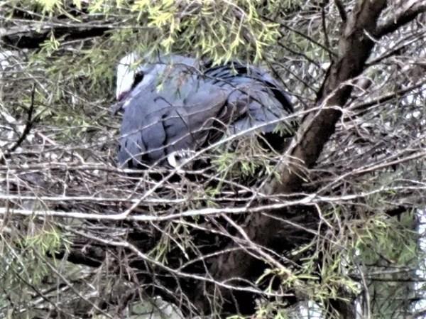 Wonga sitting on the conifer nest
