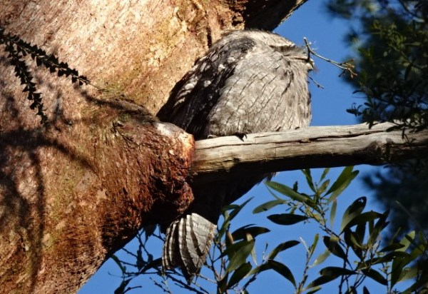 Tawny frogmouth with nesting material